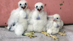 Peregrine falcon population grows, thriving in Wisconsin, Michigan