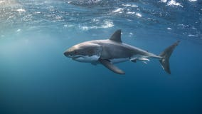 Great white shark population along California coast booming