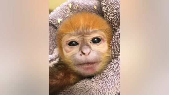 'Doing great': Philadelphia Zoo celebrates birth of endangered François' Leaf Monkey