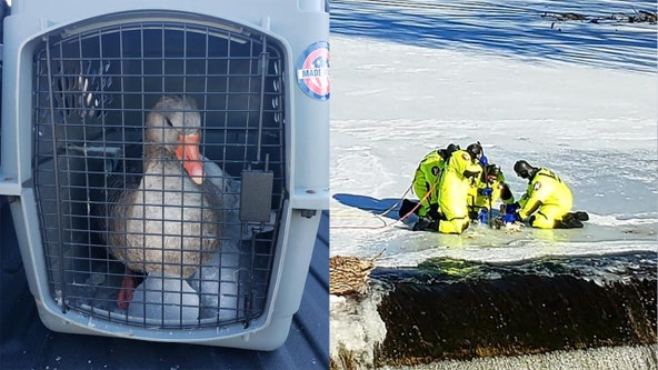 Crew rescues goose frozen in river near Grafton waterfall