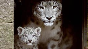 Snow leopard who gave birth to 7 healthy cubs dies of cancer