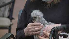 Mequon senior living residents fresh and fluffed after chicken therapy