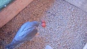 1st eggs of 2021 peregrine falcon nesting season laid at Oak Creek