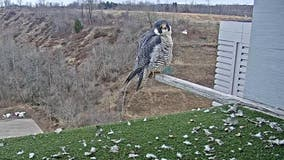 They're back! Peregrine falcons return to We Energies power plants