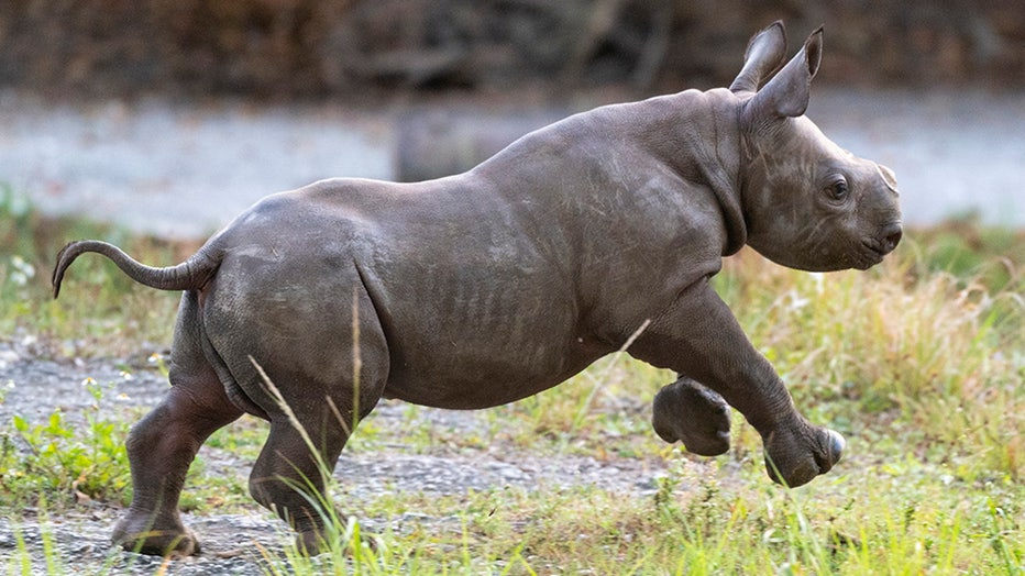 zoo-miami-baby-rhino-6.jpg