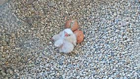 Two peregrine falcon chicks at the Oak Creek Power Plant