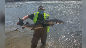 DNR: 'Illegal to target' sturgeon repopulating Milwaukee River