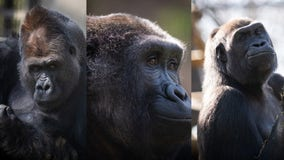 3 gorillas arrive at Milwaukee County Zoo from Columbus