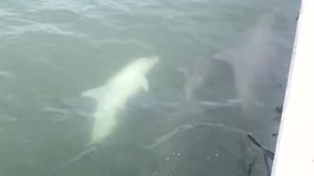 Video shows rare albino dolphin baby in Clearwater