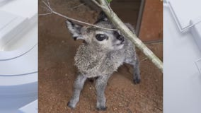 Florida zoo welcomes 27 1/2 ounce baby klipspringer antelope