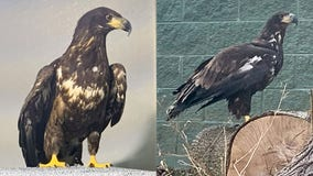 Racine Zoo announces arrival of 3-year-old bald eagle