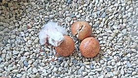 1st peregrine falcon chick of season hatches at Oak Creek Power Plant