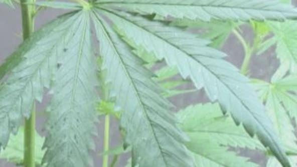 Milwaukee County's push for marijuana legalization
