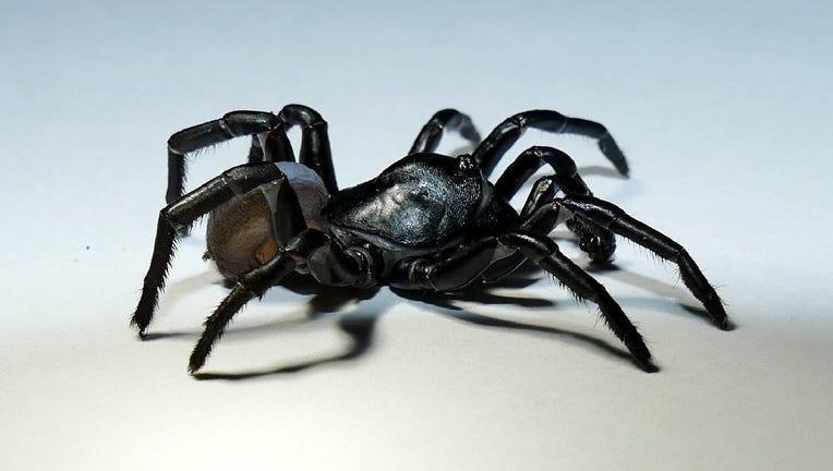 Pine Rockland Trapdoor Spider
