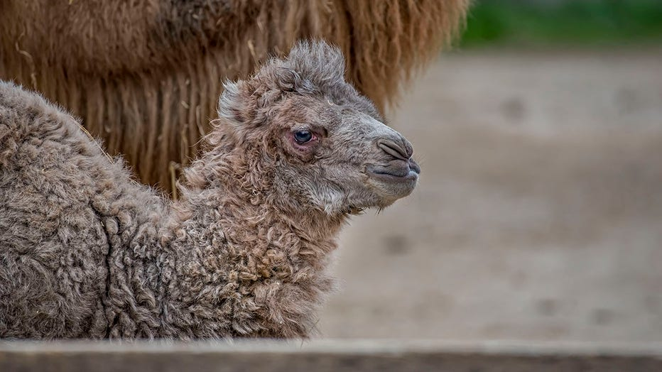 Bactrian camel born at the Milwaukee County Zoo