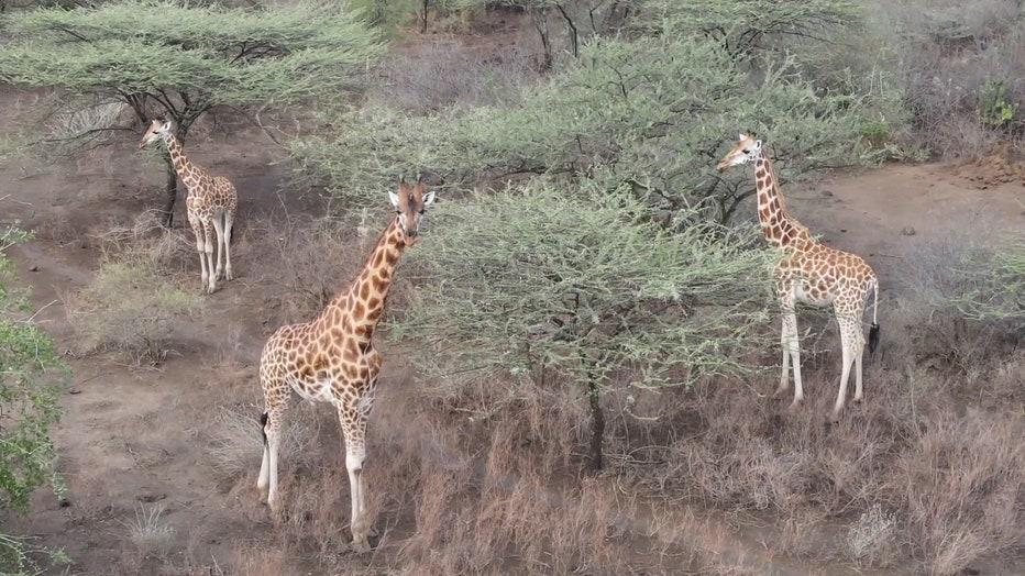50079b56-Giraffes