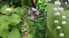 Remove invasive plants from yard, May into June is a good time