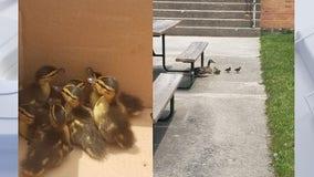 Mother duck, ducklings rescued from hawk in Oak Creek