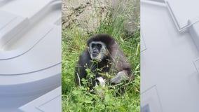 Racine Zoo celebrates 55th birthday of white-handed gibbon