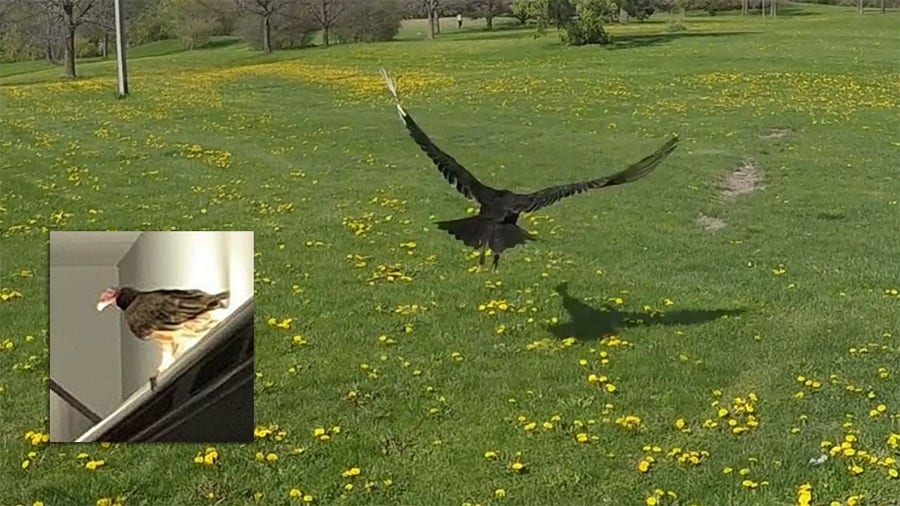 Turkey vulture released into wild after 'visit' to Rockwell Automation