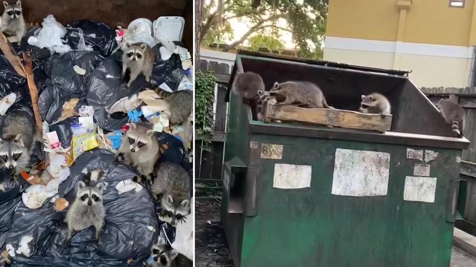 trash panda raccoon rescue split
