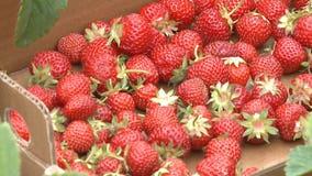 Lack of rain, smaller strawberries in Wisconsin