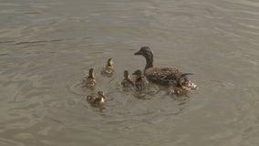 Mallard, ducklings struck by car released into wild