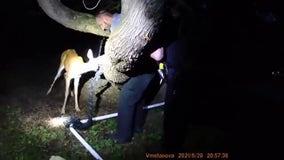 Deer rescued from Bayside soccer net