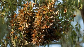 Milkweed planted in California to help monarch butterflies