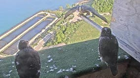 We Energies peregrine falcon chicks begin to leave nest