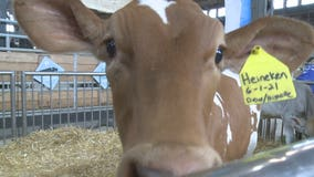 Dairy Lane at Wisconsin State Fair