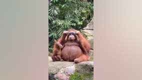 Orangutan rocks sunglasses dropped by visitor into zoo enclosure