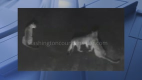 Horicon cougar sighting found to be false