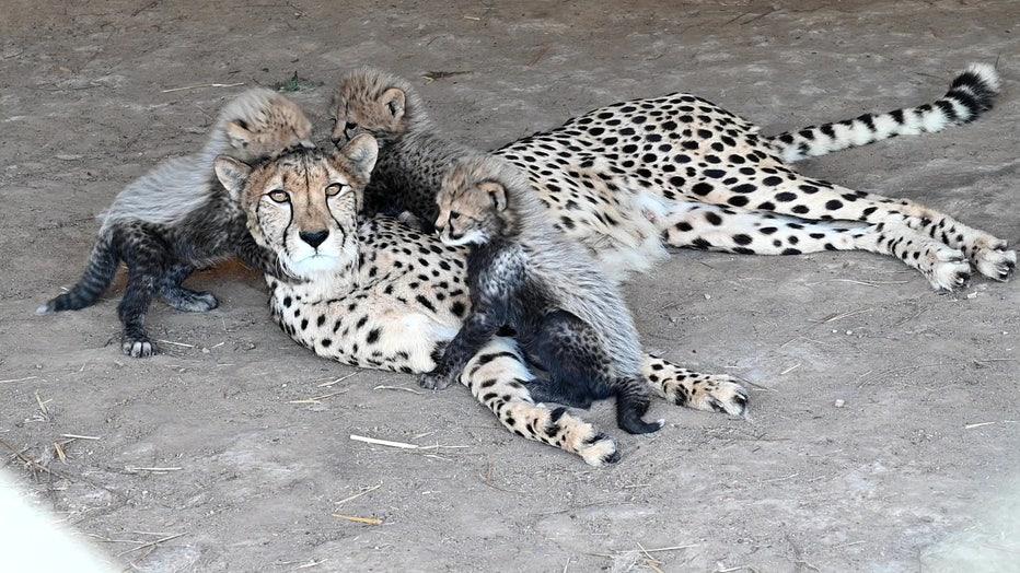 cheetah-mom-storyful-2.jpg