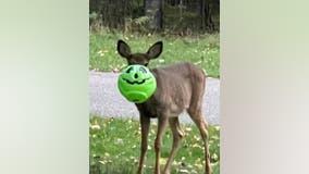 Deer stuck in trick-or-treat bucket