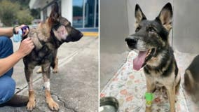2 Florida K-9s recovering after getting shot by armed carjacking suspect, deputies say