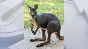 Racine Zoo welcomes young wallaroo