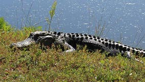 South Carolina alligator attack on woman ends after neighbor whacks reptile with shovel