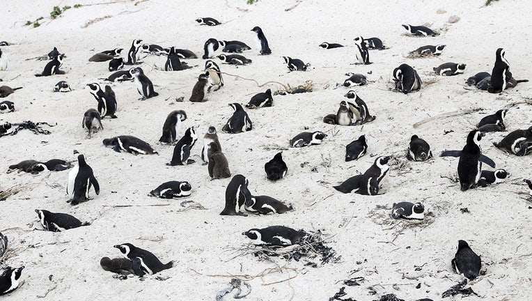 GETTY african penguin