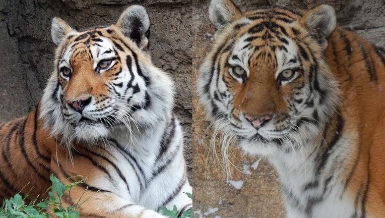 Anya, Amur tiger
