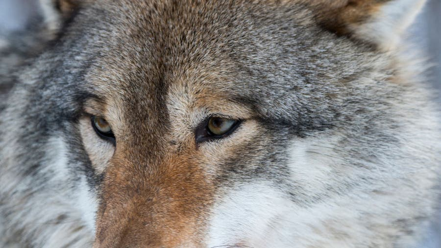 Wisconsin wolf hunt lawsuits; no DNR action on outside attorneys