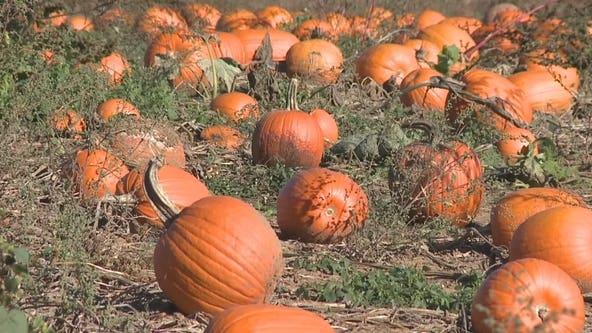 Plenty of pumpkins at Sheboygan County farm: 'Just so many'