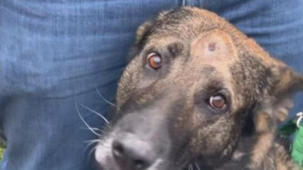 Kenosha County K-9 Riggs goes home, shot in head after traffic stop
