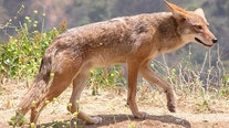 WCSO warns people to not approach coyotes after man bitten in Round Rock