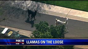 2 loose llamas lassoed after running amok near Phoenix