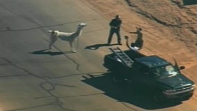 Two Llamas captured after running loose in Phoenix