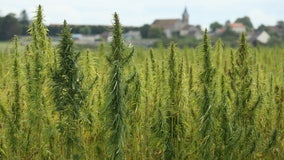 Texas removing hemp from controlled substance list on April 5
