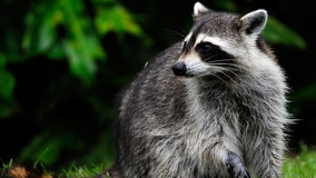 Raccoon tests positive for rabies in downtown Austin