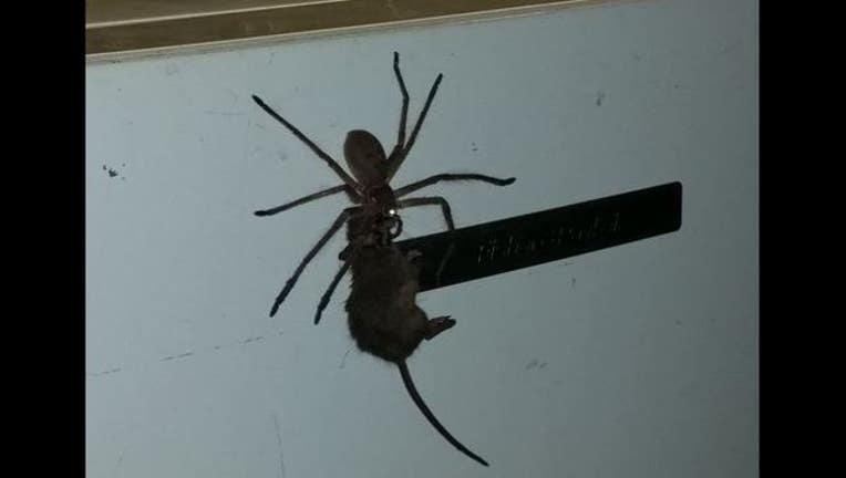 Australian spider pulling dead mouse up refrigerator-407068.JPG