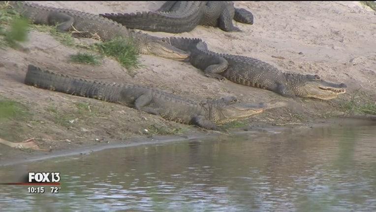 Alligators_gather_at_Myakka_River_State__0_20170308033258-401385-401385